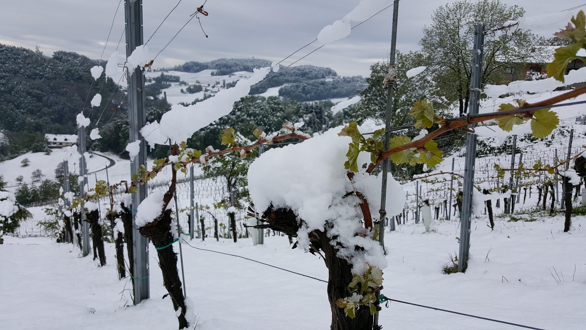 Weinrebe mit Austriebe und Schnee